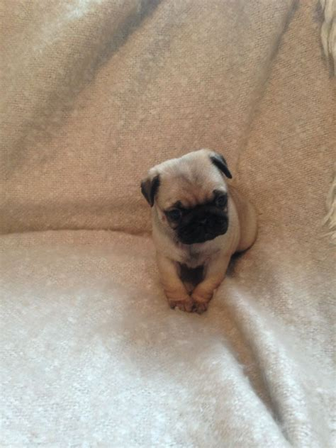 registered pug breeders quality fawn kc registered pug puppies gosport hshire pets4homes