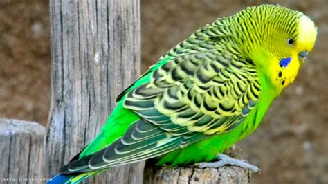 budgies birds budgerigar wallpaper 1920x1080 11938