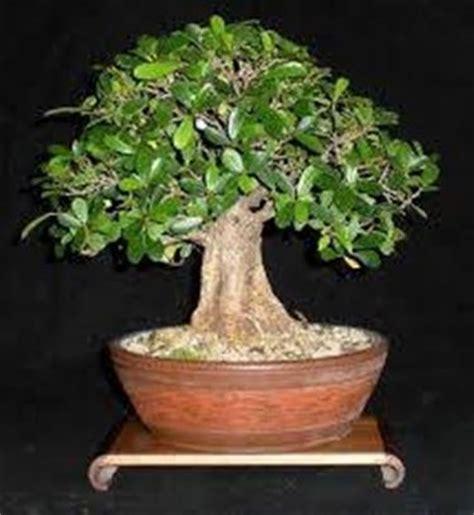 tipi di bonsai da interno bonsai ficus piante bonsai variet 224 bonsai ficus