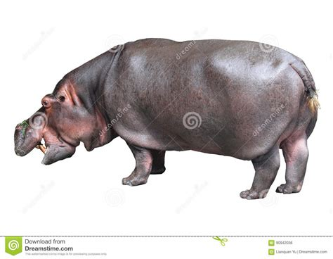 Hippopotamus In White Background hippo baby on white background royalty free stock photo