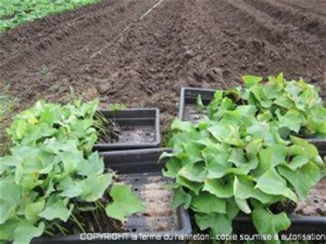 Quand Planter Les Patates Douces by Plantation Des Patates Douces Et Des Courges La Ferme Du