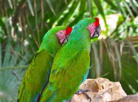 imagenes de guacamayas verdes extinciones guacamaya verde
