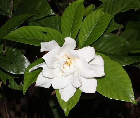 Gardenia Size Original File 3 600 215 3 050 Pixels File Size 3 1 Mb