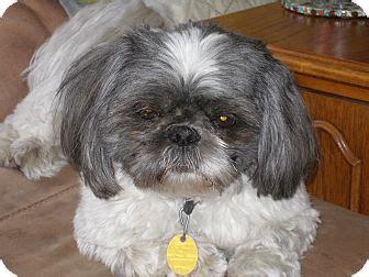 shih tzu rochester mn shih tzu for adoption in rochester minnesota kipper