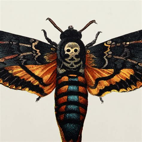 natural history specimen print death s head hawk moth