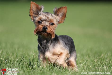 teacup yorkie rescue illinois chicago terrier adoption romp italian greyhound rescueromp italian