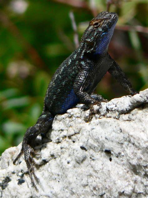 western fence lizard wikipedia
