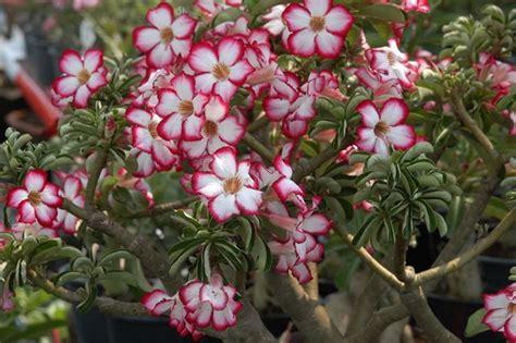 Bunga Adenium Obesum Corona 7 flores hermosas pero terriblemente peligrosas marcianos