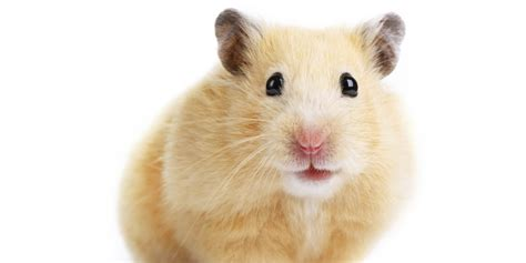 hamster with happily h mping hamsters and explaining this to your child