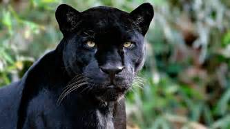 Jaguar Vs Panther Liv Wallpaper