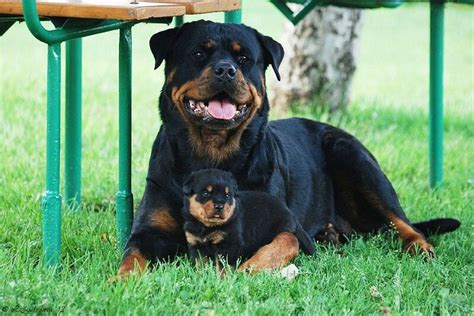 rottweiler and baby and baby rottweiler rottweilers babies and rottweilers