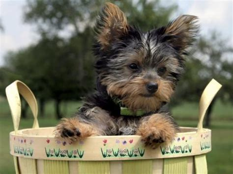 yorkie puppy scams yorkie was stolen from backyard as part of scam in tennessee