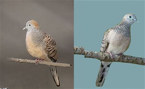 information about doves bird