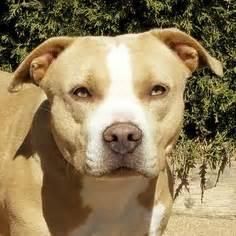 dogs for adoption albuquerque view ad american staffordshire terrier for adoption new mexico albuquerque usa