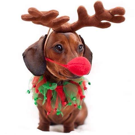 festive pup christmas dog dachshund weenie dogs