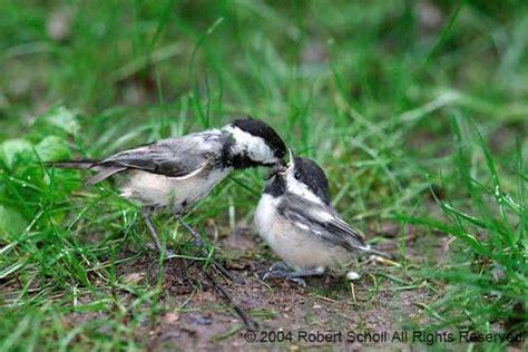 chickadee feeding fledgling