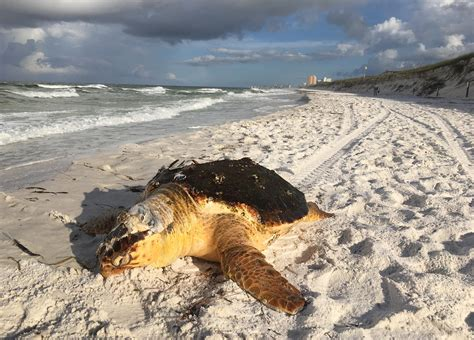 boat propeller killed pc officials boat propeller might have killed turtle