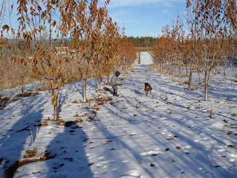 christmas tree places apple hill ca boa vista orchards placerville ca on tripadvisor hours address reviews