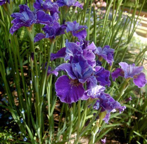 world of irises growing siberian irises