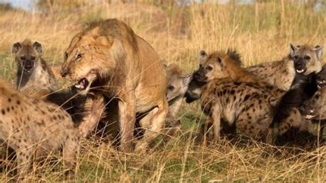 hyena cat or big cats can hyenas beat lions quora