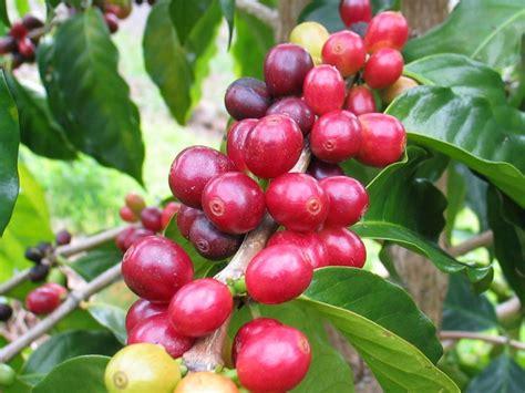 Bibit Kopi Arabika bagaimana langkah pillih bibit kopi unggul yang baik muskokalakes net