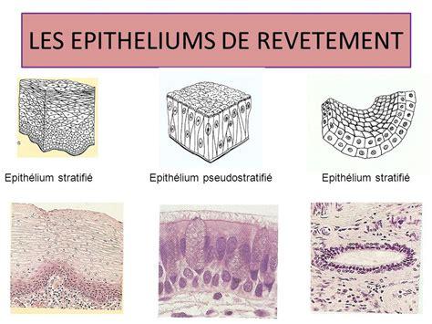 Tissu De Revetement by 201 Pith 233 Lium De Rev 234 Tement Cours Bio Facult 233