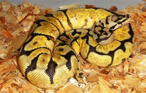 ball python bedding bedding for ball python mesmerizing ball python care sheet
