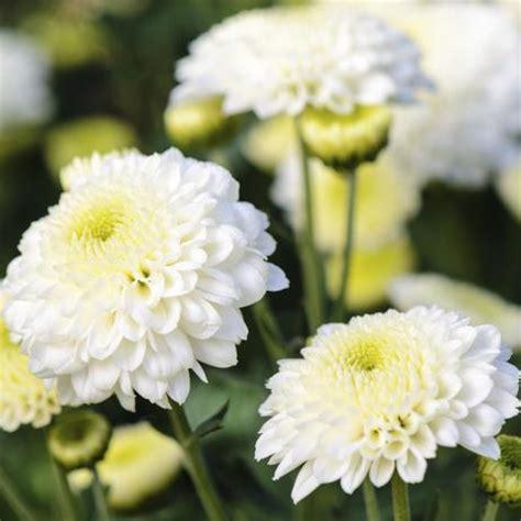 Fleur Verte Et Blanche by Fleur Blanche Liste Ooreka