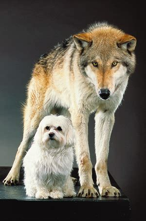 the domestication how wolves and humans coevolved books national geographic magazine nationalgeographic