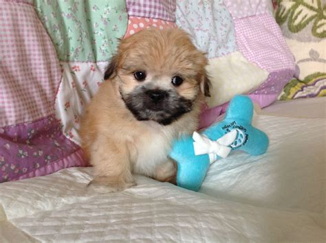 maltipom puppies for sale maltipom puppies 1 available bournemouth dorset pets4homes