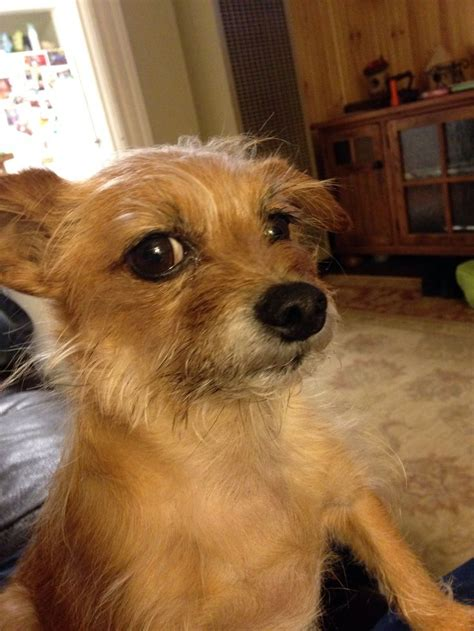 chorkie grooming 63 best chorkie images on pinterest little dogs animal