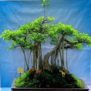 step  step budidaya tanaman hias bonsai  pemula