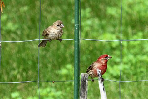 house finch food birds back yard biology page 20