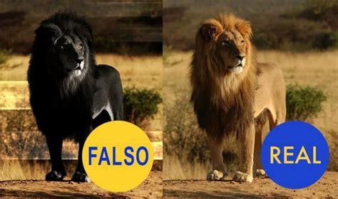 imagenes leon negro le 243 n negro 191 real o falso el rey le 243 n amino