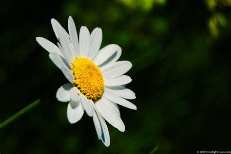 daisy flower daisy flower