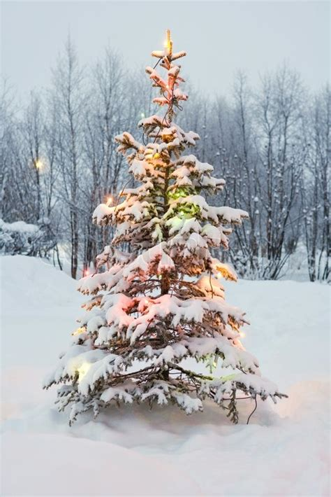 hardy altopress maxppp snow covered tree decorated with lights stock photo