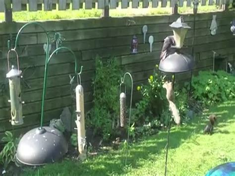 squirrel outsmarts squirrel proof backyard bird feeder