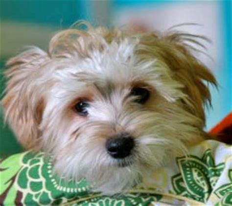 yorki maltese mix is a maltese yorkie mix the right for you