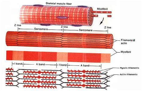 across fiber pattern theory definition muscle physiology at north carolina state university