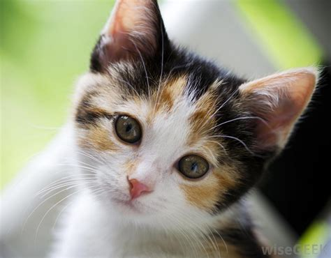 female cat names calico