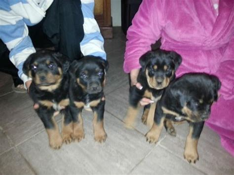 rottweiler puppies for sale in gauteng beautiful rottweiler puppies for sale pretoria tshwane puppies for sale
