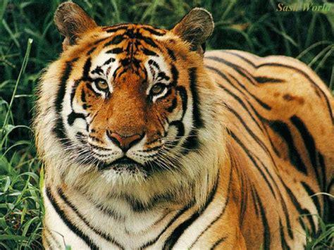 wallpaper laptop harimau koleksi gambar hewan karnivora hewan pemakan daging