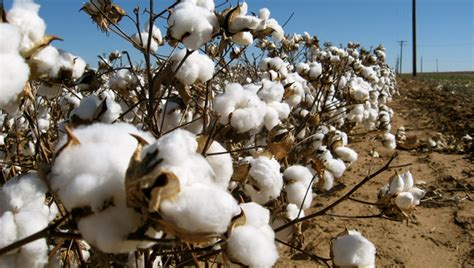 Atomix Cotton Organic Kapas Organic use of gm cotton linked to rise in aphid numbers scidev net