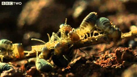 giant anteater   termites secrets   living planet episode  bbc  youtube
