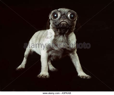 two pug puppies pug puppy stock photos pug puppy stock images alamy