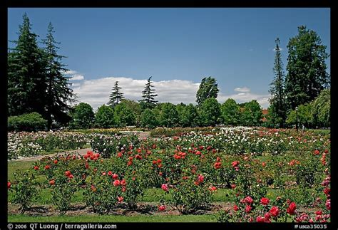 picturephoto roses  pine trees municipal rose garden