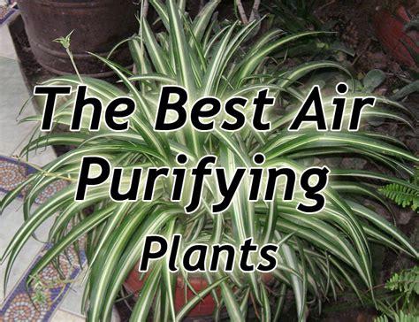air purifying plantsenglish ivy spider plant