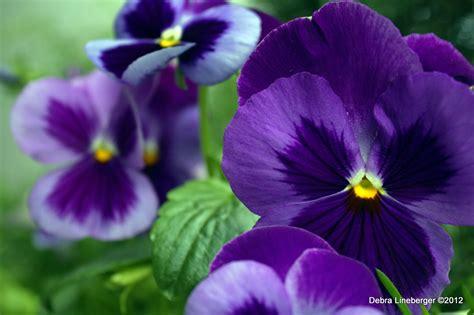 imagenes de flores llamadas pensamientos fondos de pantalla pensamientos flores descargar imagenes