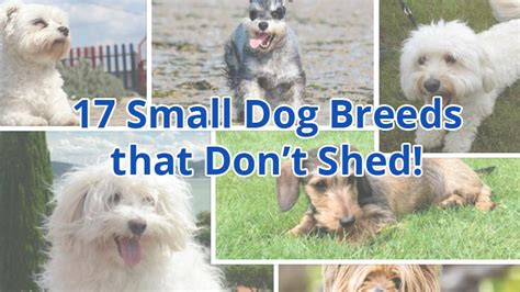 dogs that stay small and don t shed small breeds that dont shed and stay small