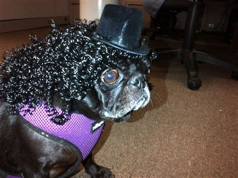 pug curl 17 best images about i pugs on merry clothing alterations
